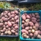 Harvesting & Storing Your Potatoes