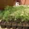 Mr Fothergill's Seed Trial – Cosmos – Double Dutch White - Update