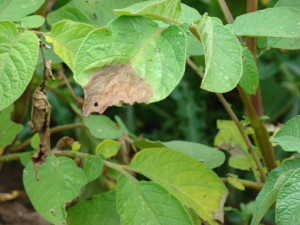 Potato Blight Infecting Leaves