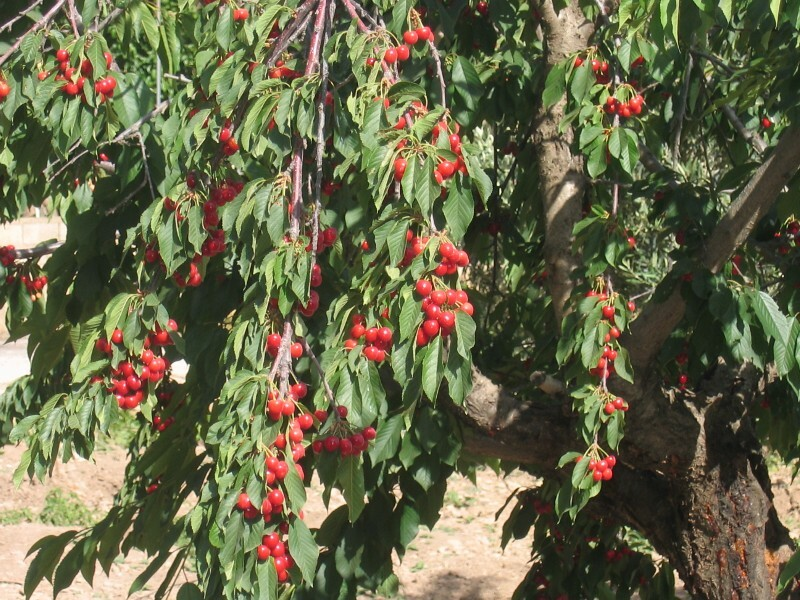 growing fruit bearing cherry trees  is strawberry a fruit, Natural flower