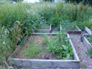 a weedy allotment