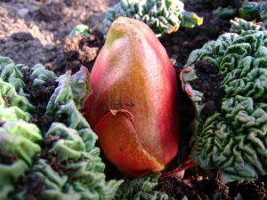 rhubarb-crown
