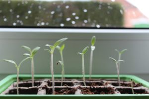 Tray of Tomato Seedlings Image