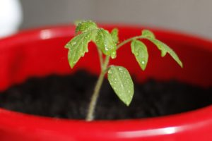Tomato Seedling Picture